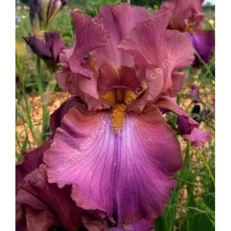 Iris 'Cranberry Ice'