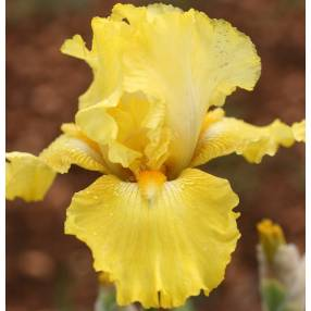 Iris 'Double Charming'