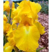 Iris 'Golden Promenade'