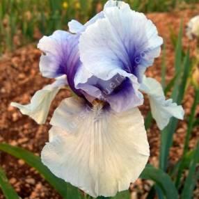 Iris 'Incantation'