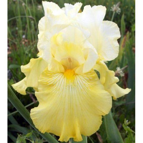 Iris 'Perfect Interlude'