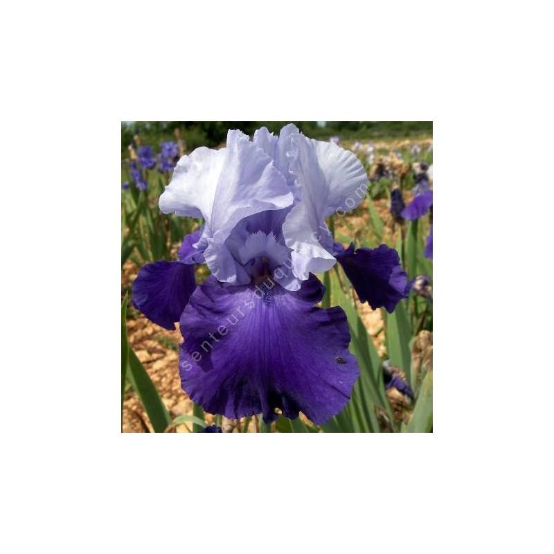 Iris 'Proud Tradition'