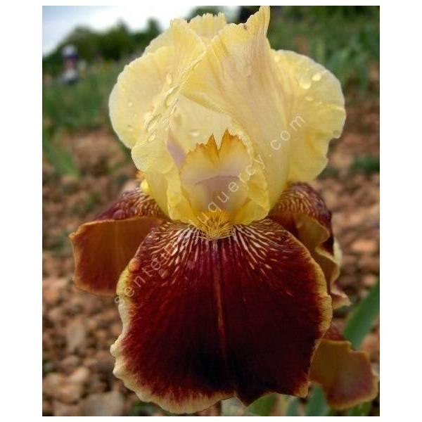 Iris 'Repartee'