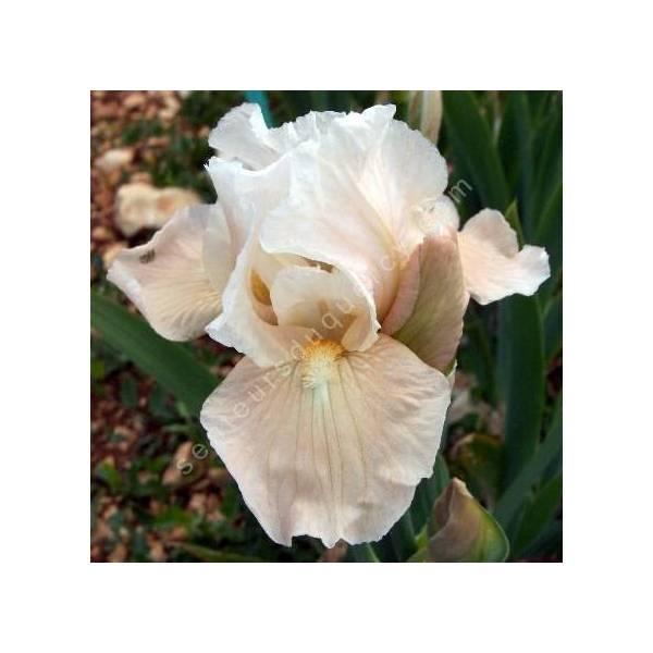 Iris 'Snow Cone'