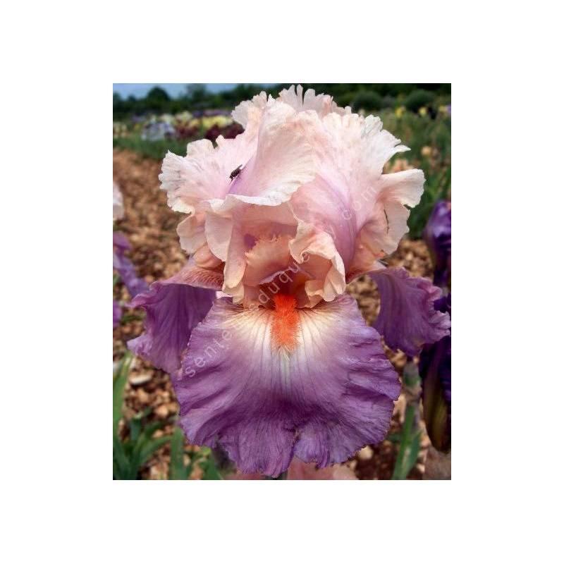 Iris 'Sweet Musette'