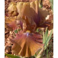 Iris 'Tan Tingo'
