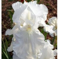 Iris 'Brother Carl'