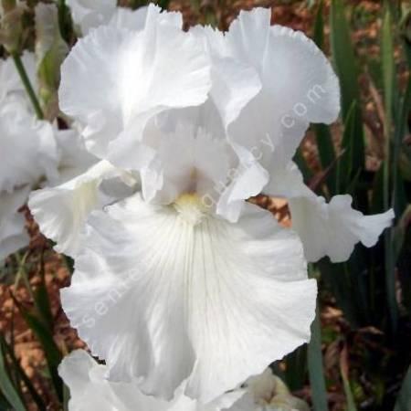 Iris 'Frison Roche'