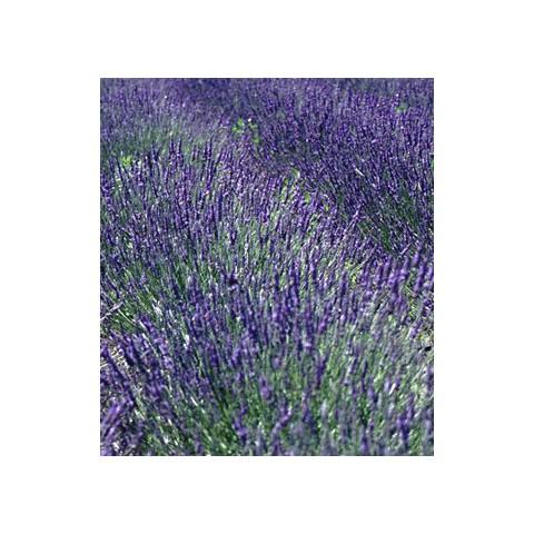 https://www.senteursduquercy.com/469-thickbox/lavandula-x-intermedia-grosso-lavandin.jpg