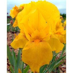 Iris 'Granada Gold'