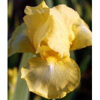 Iris 'Maui Moonlight'