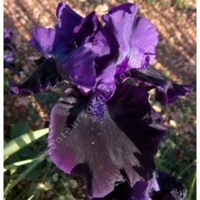 Iris 'Black Out'