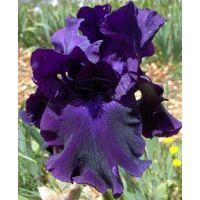 Iris 'Darkside'