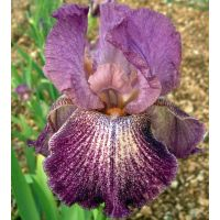 Iris 'Porta Villa'