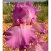 Iris 'Framboise'