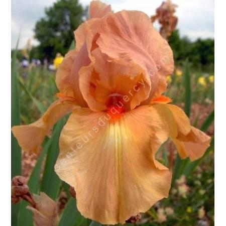 Iris 'Dutch Magic'