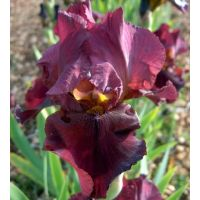 Iris 'Avenging Angel'