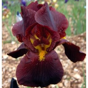 Iris 'Caliente'