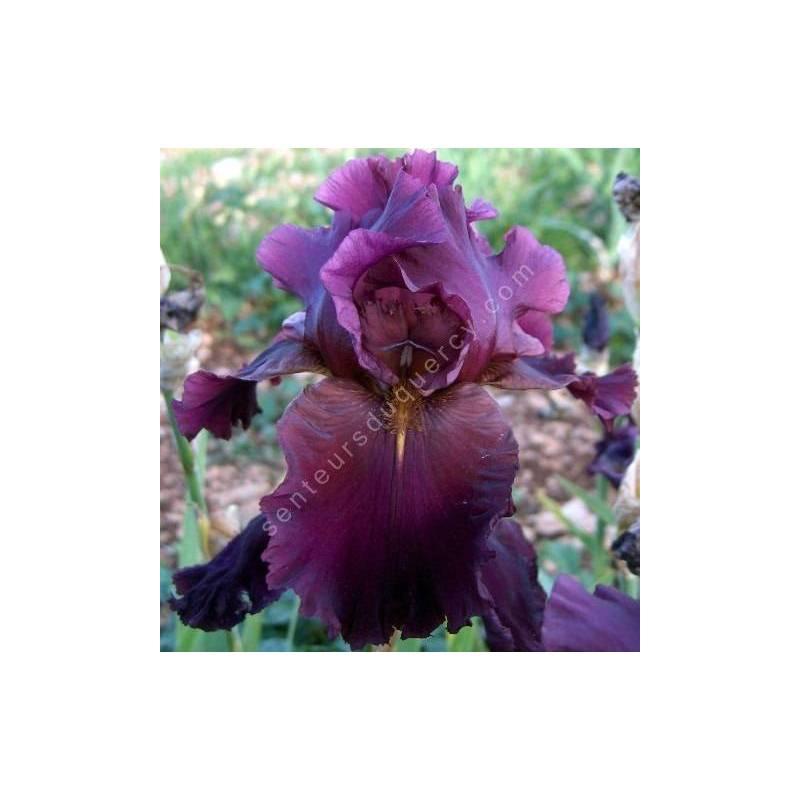Iris 'Crackling Burgundy'