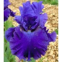 Iris 'Indigo Princess'