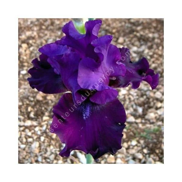 Iris 'Diabolique'