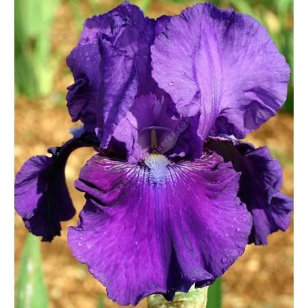 Iris 'Rotunda'