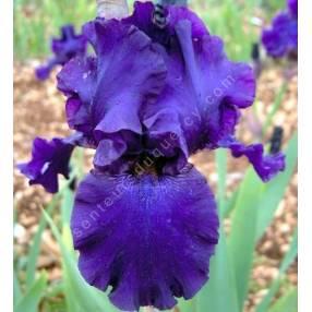 Iris 'Trapel'