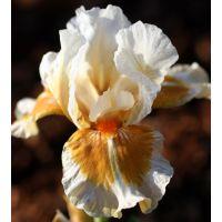 Iris 'California Style'