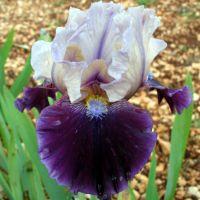 Iris 'Dream Indigo'