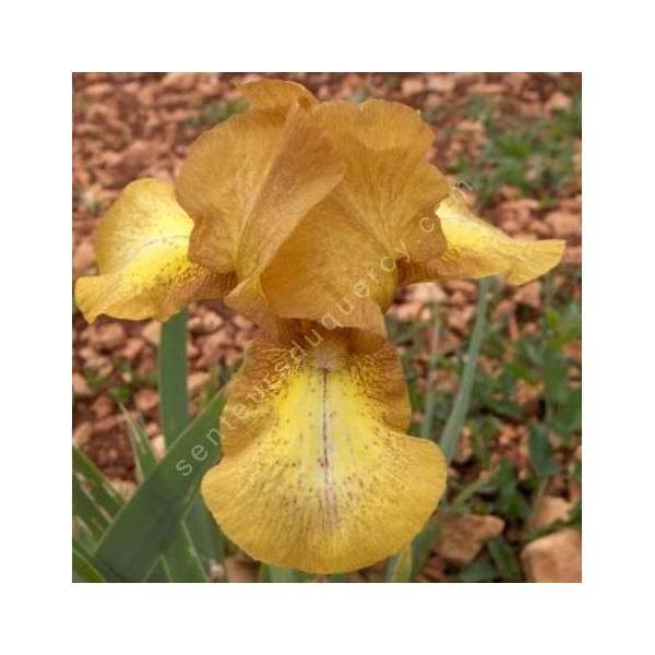 Iris 'Swizzle'