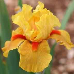 Iris 'Season Ticket'
