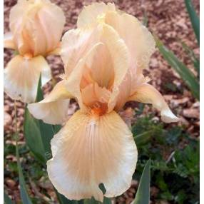 Iris 'Peachy Face'