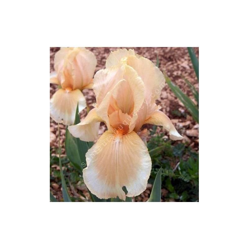 Iris 'Peachy Face'