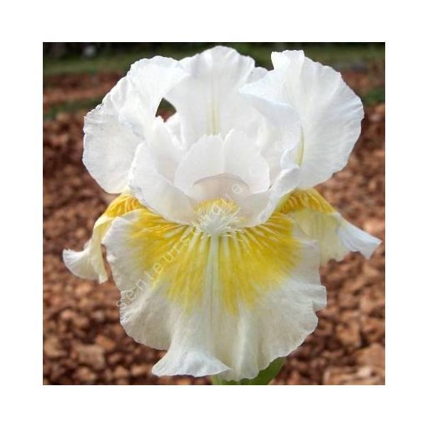 Iris 'Lunar Frost'
