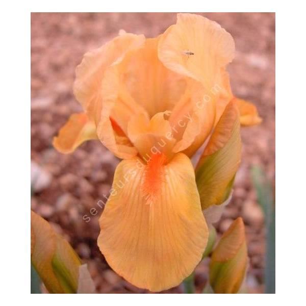 Iris 'Lillipinkput'