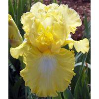 Iris 'Lemon Pop'