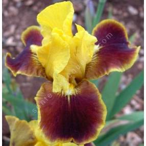 Iris 'Firebug'