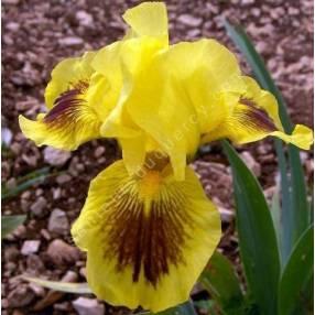 Iris 'Eye Magic'