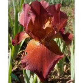 Iris 'Ernest Endeavour'