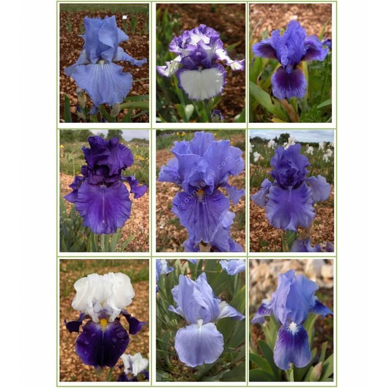 Collection d'iris bleus