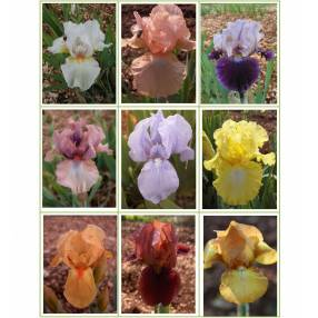 Collection d'iris intermédiaire