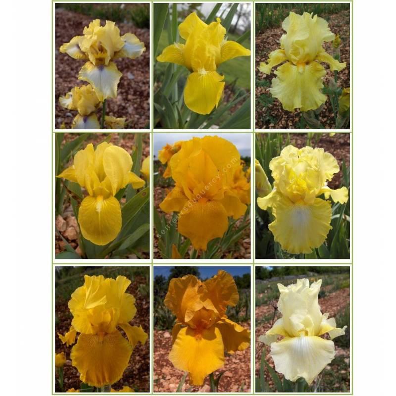 Collection d'iris jaunes