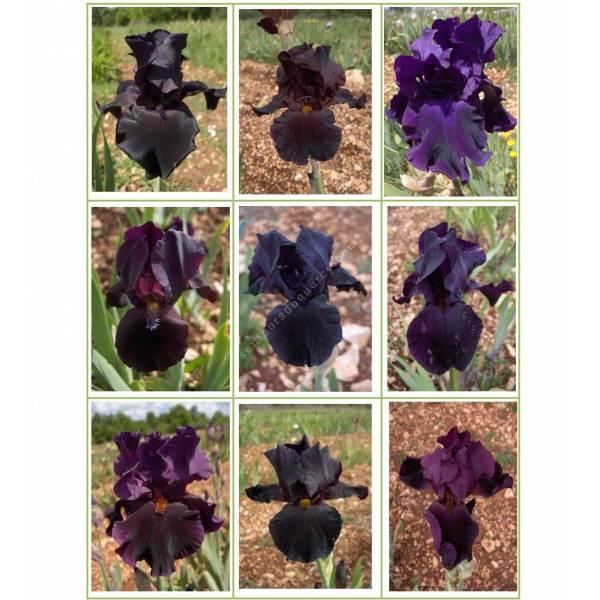 Collection d'iris noirs