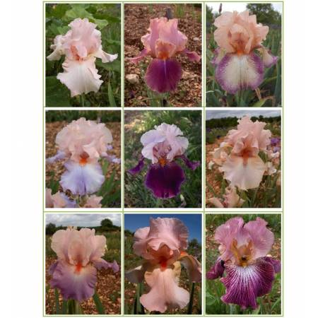 Collection d'iris roses