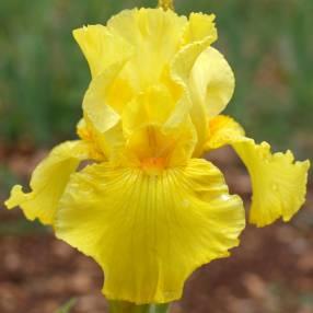 Iris 'Catalyst'