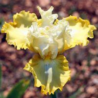 Iris 'Overjoyed'