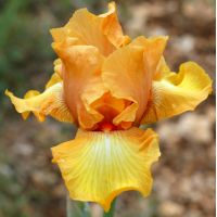 Iris 'Private Treasure'