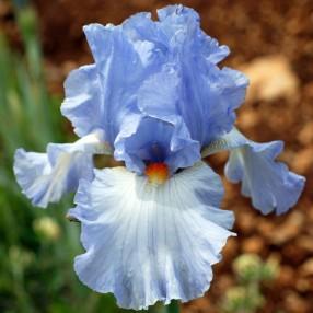 Iris 'Princesse Caroline de Monaco'