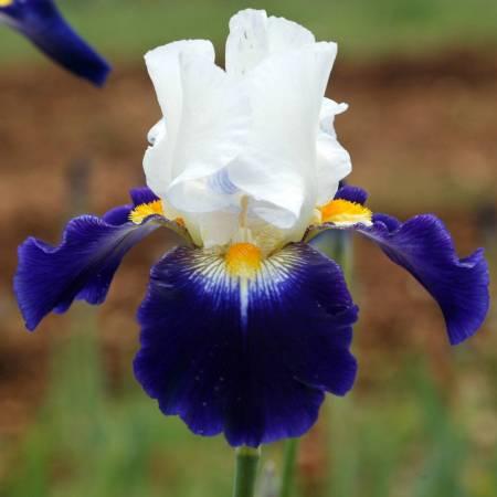 Iris 'Noctambule'