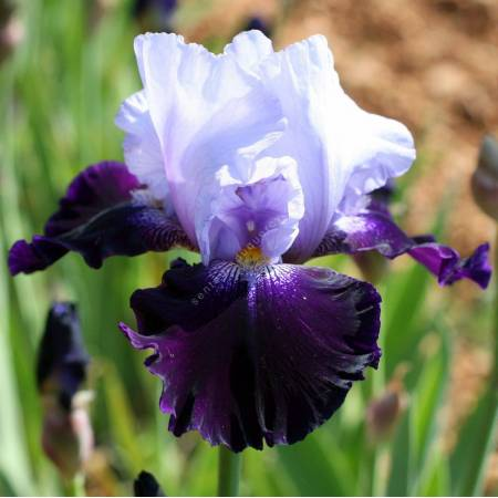 Iris 'Tempting Fate'